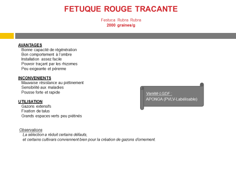 fetuque-rouge-tracante-2